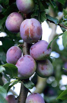 RHS Plant Selector Prunus domestica 'Marjorie's Seedling' (C) AGM / RHS Gardening