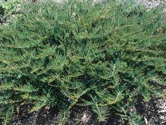 Creeping Juniper (Juniperus horizontalis)  Creeping juniper is a prostrate, evergreen shrub with a spreading style; it forms an attractive carpet of gray-green foliage that turns purplish in the winter. It is a useful plant for covering difficult areas like steep banks where mowers cannot reach. This fully hardy plant prefers well-drained soil and full to partial sun. H: 14 inches (35 cm); S: 8 feet (2.5 m)