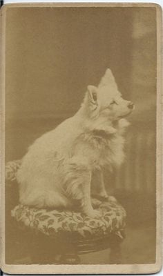 c.1870s cdv of white spitz. Photo by Levi Morse, Thomaston, ME. From bendale collection