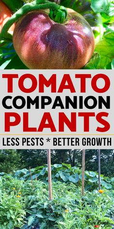 The Best Tomato Companion Plants For Your Vegetable Garden Grow better tomatoes by learning which crops are the best tomato companion plants to increase your tomato harvest, reduce pests, and improve flavor. Tomato Companion Plants, Companion Gardening, Tomato Plants, Small Vegetable Gardens, Home Vegetable Garden, Planting Vegetables, Growing Vegetables, Veggies, Garden Care