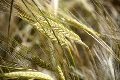 Trigo - Wheat