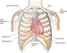 how does the heart sit in the chest? - Google Search
