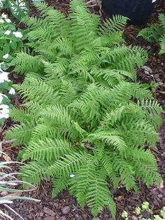 Shade Garden: Fern Dwarf Lady. Plants recommended by the Arboretum for shade perennials.
