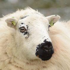 Sheep face 13