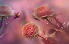 in the rose land by Sonja ❤️ Probst on 500px