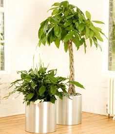 Home Indoor Office Plants Giant Spathiphyllum and a 1.6M Pachira ...