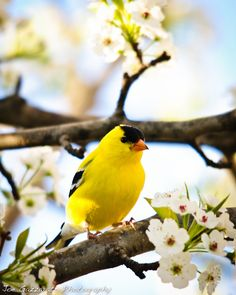 yellow finch is one of my favorites