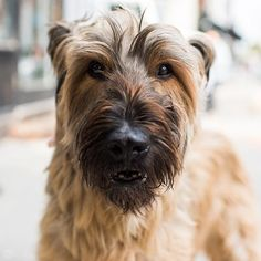 "Ellie the Briard Dog (11 y/o), N 3rd & Wythe Ave., Brooklyn, NY • ""The Brooklyn Briard."""