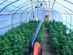 Medical Cannabis grow in Spain