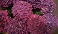 #Hydrangea #Hortensia #Aubergine; Available at www.barendsen.nl