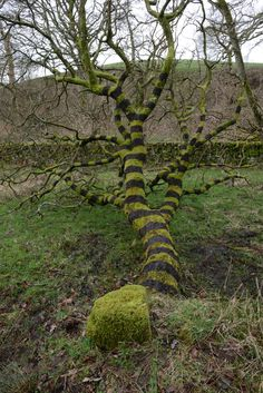 Close to his home in Dumfriesshire, Goldsworthy painted bands onto a tree with mud he collected from a nearby bog.