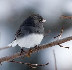 Northern Junco || Canon350d/EF100-400F4-5.6L@365 | 1/1250s | f6.3 |  IS800 | handheld    p.s. I want a junco for my very own... so sweet!