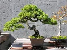 Such a cool Bonsai tree! It is just so cute! It would be cool to have one someday. :)