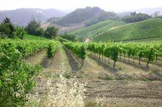 Monteleone, Sangiovese vineyard, Emilia Romagna, italy