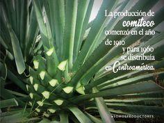 La producción de comiteco comenzó en el año de 1910 y para 1960 se distribuía en Centroamérica. SAGARPA SAGARPAMX #SomosProductores