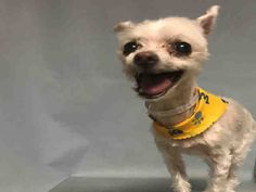 💖 SAFE: 7/17/17 💖 SUPER URGENT: Brooklyn  NILLE – A1118434    FEMALE, WHITE, CHIHUAHUA SH / MALTESE, 11 yrs  STRAY – STRAY WAIT, NO HOLD Reason STRAY  Intake condition EXAM REQ Intake Date 07/13/2017, From NY 11373, Due Out Date 07/16/2017,