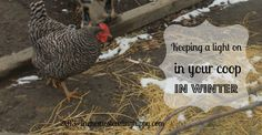 should you keep lights on in a chicken coop over winter? Here's the reasons we do. The Homesteading Hippy #homesteadhippy #fromthefarm #theurbanchicken