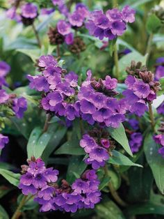 #Perrenials: Lungwort - Best for shade, this is a great plant with an unfortunate name, lungwort (Pulmonaria) earned its moniker from the silvery, lung-shaped spots that dot the foliage. The variegated foliage looks great all season long, but is an especially nice accent to the clusters of pink, white, or blue flowers in spring. Lungwort grows best in Zones 4-8 and reaches 1 foot tall
