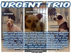 ((SUPER URGENT- 3 BONDED DOGS at TOP OF LIST FOR EUTHANASIA)) Please help share/save/rescue this very bonded trio (2 6yr old Pit bulls and 1 8 yr old Chihuahua). PLS READ THEIR STORY and watch their VIDEO. These amazing 3 dogs are at the top of the list and highly at risk for euthanasia. HURRY!!!  https://www.facebook.com/helpgcanimals/photos/a.277619638957048.83195.177022222350124/958194677566204/?type=1&theater