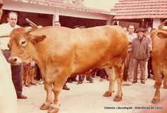 Paseo y exhibición de bueyes en Getxo, 16 de agosto de 1972. Los bueyes se llamaban Galán y Lindo y pesaron 1571 kg. en canal. Foto tomada en el patio del matadero municipal (Cedida por Santos Cajigas) (ref. 03421)