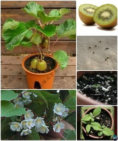 Growing Vegetables Grow Kiwi From Seeds Instructions - Gardening Tips To Regrow Fruit Trees From Seeds and Scraps Yourself, Grow your own Pinapple, Avocado, Apple, Lemon and Kiwi Trees from Kitchen scraps.