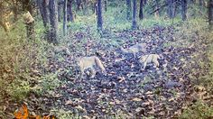 A trail cam snapped this bobcat family portrait near Earlham recently! Bobcats commonly have litters of three to five kittens, with two or three normally making it to fall. This time of year, the kittens are spending less and less time with mom as they get ready to head off on their own this spring. Thanks to Glen Pohl for sharing his photo with us!