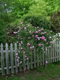 Normally, we don't do pruning or much cutting on roses until later winter when the forsythia bloom. This year I'm advising a different approach. Spring Flowering Trees, Moving Plants, Botanical Science, Angel Trumpet, Butterfly Bush, Fine Gardening, Clay Soil, Rose Bush, Climbing Roses