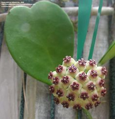 PlantFiles: Picture #8 of Wax Hearts, Sweetheart Hoya, Valentine Hoya, Wax…