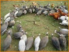 I used to think guinea fowl were just chickens with polka dots, but nothing is further from the truth! Guinea fowl are quite a bit different from chickens. Farm Animals, Funny Animals, Cute Animals, Wild Animals, Funny Videos, Funny Cartoons, Funny Memes, Hilarious, Lmfao Funny