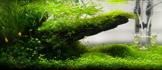 Carpet aquarium plants or foreground aquarium plants are these species of aquatic plants which cover the bottom of your water tank. They are the most important plants in aquascaping. Carpet plants are shorter than other plants and successfully fill the front of your aquarium. Lilaeopsis, Micro Sword, Micranthenum ,Pogestemon, Lobelia mini, Hemianthus thalicroides Cuba, Dwarf Baby Tears, or Eleocharis parvula, Dwarf spikerush, Eleocharis accicularis, Dwarf hairgrass, Hemianthus micranth...