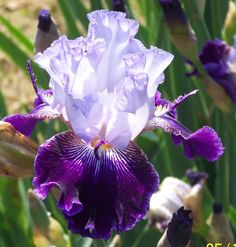 TB Iris germanica 'Unfinished Business' (Griner, 1998)