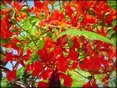 KANEOHE, HAWAII  (Flame Tree)
