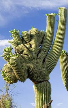 The Giant Saguaro is the most fascinating plant of the Sonoran Desert. It's skin is tough and waxy and its woody skeleton is concealed inside the plant. The trunk and arms are pleated like an accordion and can expand or contract with the amount of water taken in. In the place of leaves the Saguaro has thousands of spines to shade and protect itself.