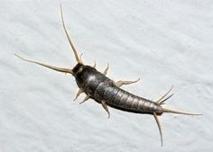 Identify, control, and get rid of silverfish in the home with these tips from The Old Farmer's Almanac. Best Pest Control, Pest Control Services, Bug Control, Green Pest Control, Get Rid Of Silverfish, Silverfish Control, House Insects, Old Farmers Almanac, Bees And Wasps