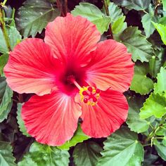 For the new flower bed - Hibiscus Plant NZ