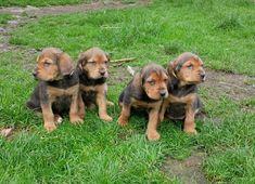 Ogar Polski  (Polish scenthound) Pets, Nature, Anna, Animals, Google, Dogs, Naturaleza, Animales, Animaux