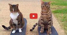 The Most Talented Cats in the World - We Love Cats and Kittens Cute Cats And Kittens, I Love Cats, Cool Cats, Kittens Cutest, Kitty Cats, Funny Cat Videos, Funny Cats, Baby Skunks, Birman Cat