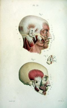 Antique victorian facial muscles anatomy print by LyraNebulaPrints