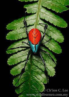 spider (Opadometa sp.)