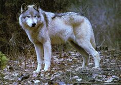 """Sherwood+forest+wolf""....+-+Dogs+Wallpaper+ID+1133722+-+Desktop+Nexus+Animals"