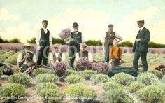 Picture postcard of Lavender Cutters in the Carshalton Lavender Fields, Surrey circa 1905 Sutton Surrey, Picture Postcards, Lavender Fields, Local History, West London, Memories, Garden, Pictures, House