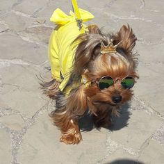 Yorkie Shout Outs - Coulson Puppies Cute Dogs And Puppies, I Love Dogs, Pet Dogs, Pets, Cute Funny Animals, Funny Animal Pictures, Cute Baby Animals, Yorky Terrier, Teacup Yorkie