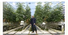 """Mads Pedersen, described in Denmark as a 'tomato king', last week announced that his company, Alfred Pedersen & Søn, would be putting considerable resources into the crop in a joint venture with Aurora.  The production facility will be located near the town of Odense and ready to begin operating next year, Berlingske Business reports.    In an interview with broadcaster TV2, Pedersen said that he hoped the business venture would """"make a difference"""".  """"I think this is a chance that comes once…"""