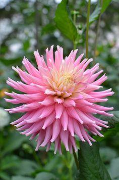 Dahlia 'Diamond Rebel' Dahlias, Zinnias, Herbaceous Perennials, Chrysanthemum, Natural Wonders, Colorful Flowers, Rebel, Daisy, Diamond