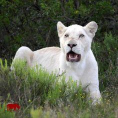 Entdecken Sie die außergewöhnlichen weißen Löwen im Timbavati Game Reserve in Südafrika!