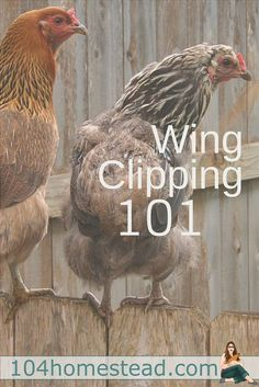 Wing clipping can be scary, but it might be something you need to consider for your chickens safety. Here are answers to some of the frequent questions that come along. Best Egg Laying Chickens, Raising Backyard Chickens, Keeping Chickens, Backyard Farming, Pet Chickens, Clipping Chickens Wings, Chicken Breeds, Chicken Coops, Chicken Houses