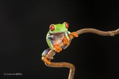 Mobile Lynn posted a photo:  As its name suggests, the red-eyed tree frog has red eyes with vertically narrowed pupils. It has a vibrant green body with yellow and blue, vertically striped sides. Its webbed feet and toes are orange or red. The skin on the red-eyed tree frog's belly is soft and fragile, whereas the back is thicker and rougher. Red-eyed tree frogs have sticky pads on their toes.