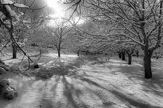 CHESTNUT TREES IN WHITE