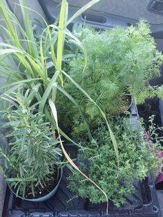 Essential herbs-Clockwise from bottom left: Rosemary, Lemon grass, sage, dill, thyme.