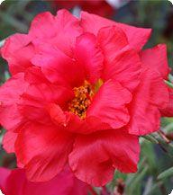Портулак крупноцветковый, cерия Амелия, Cherry Red